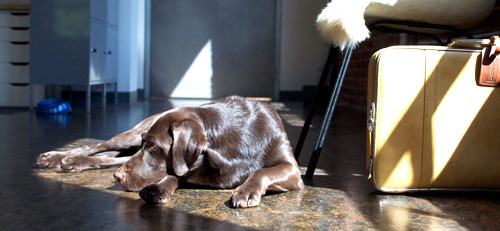 Lucy the chocolate lab, taking a well-deserved nap in one of the many sunspots in the office.