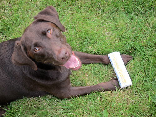 Lucy the chocolate lab with her squeaky newspaper toy.